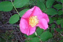 Wild Rose used in Google Image Experiment